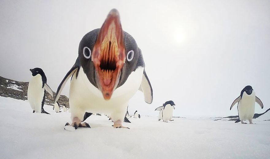 Cuando los pingüinos atacan, Antártida/Sea Berry