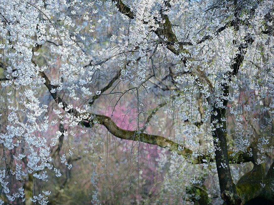 Flores Imperiales, Kioto, Japón/Yukio Miki.