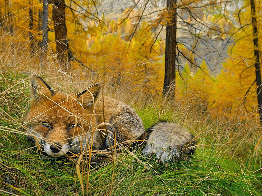 Zorro encontrado, Parque Nacional Paradiso, Italia/ Stefano Unterthiner