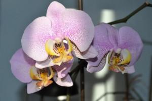 Orquídea_01