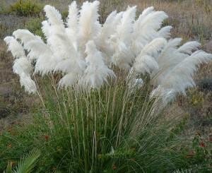 Planta invasora Cortadelia selloana