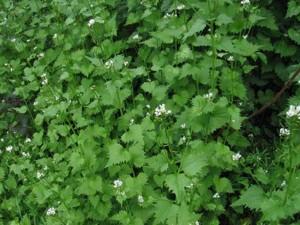 Plantas comestibles - Aliaria petiolata