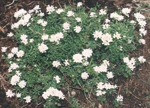 Plantas comestibles - Carraspique