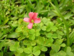 Plantas comestibles - Oxalida