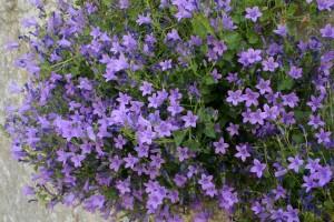 Plantas comestibles - Violetas salvajes