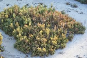 Plantas de sal_04