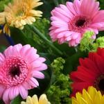 Plantas limpiar aire hogar - Gerbera