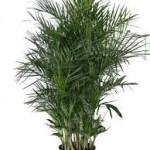 Plantas limpiar aire hogar - Planta de bambu