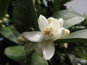 Plantas para dormir mejor - Flor de Azahar