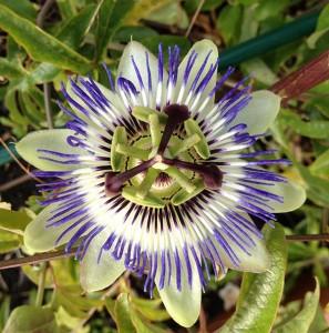 Plantas para dormir mejor - Pasiflora