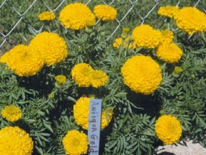 Plantas repelentes de insectos - Cempasuchil