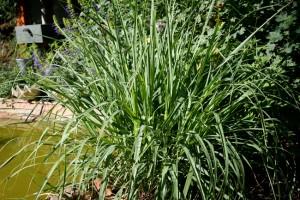 Plantas repelentes de insectos - Pasto de limon