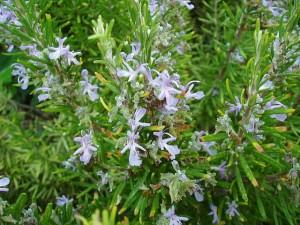 Plantas repelentes de insectos - Romero