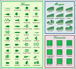 tipos-de-hojas-de-los-arboles